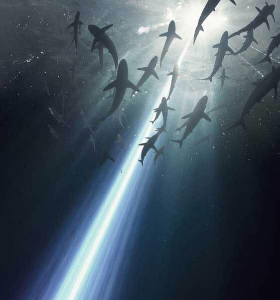 shark middle